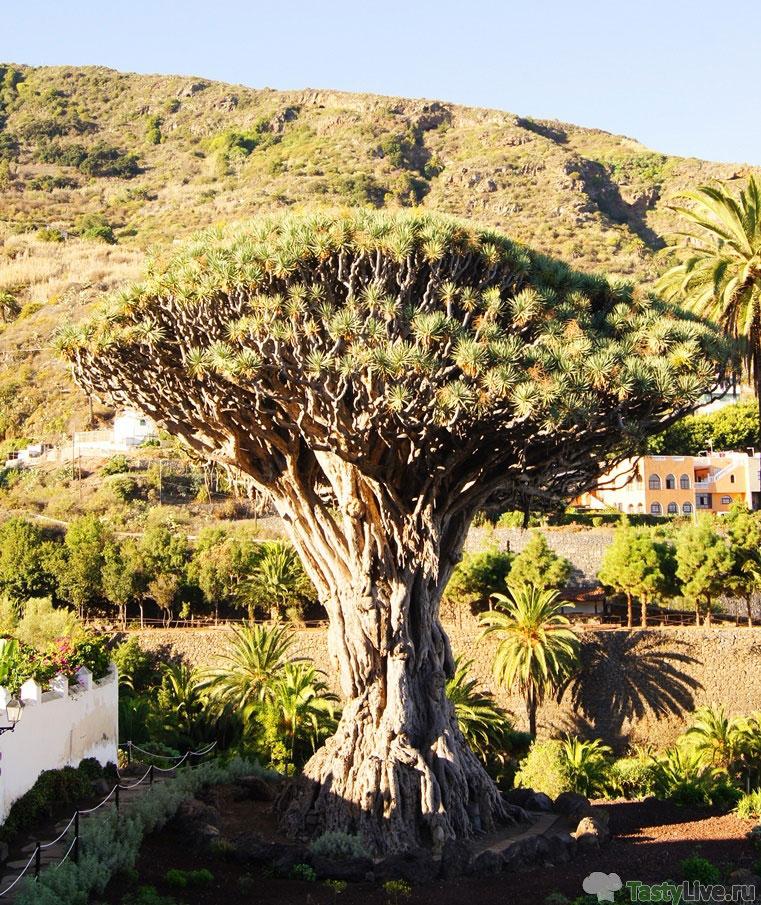Драконовое дерево. Икод де лос Винос
